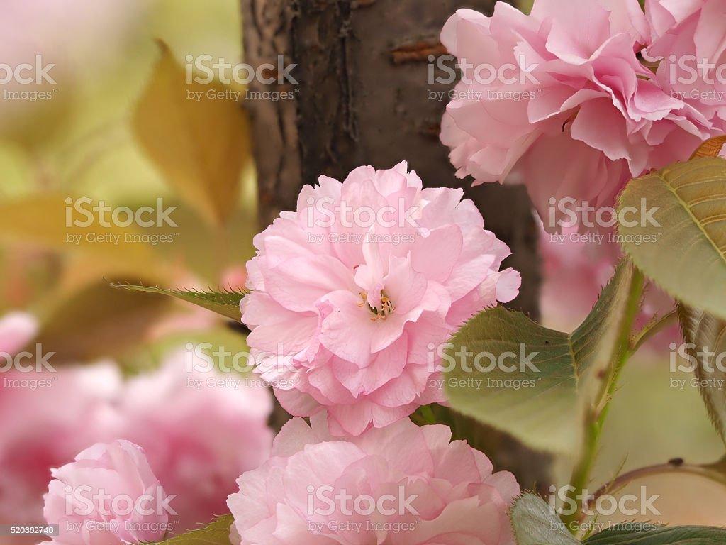 Spring flowers series, Kwanzan Cherry blossom. stock photo