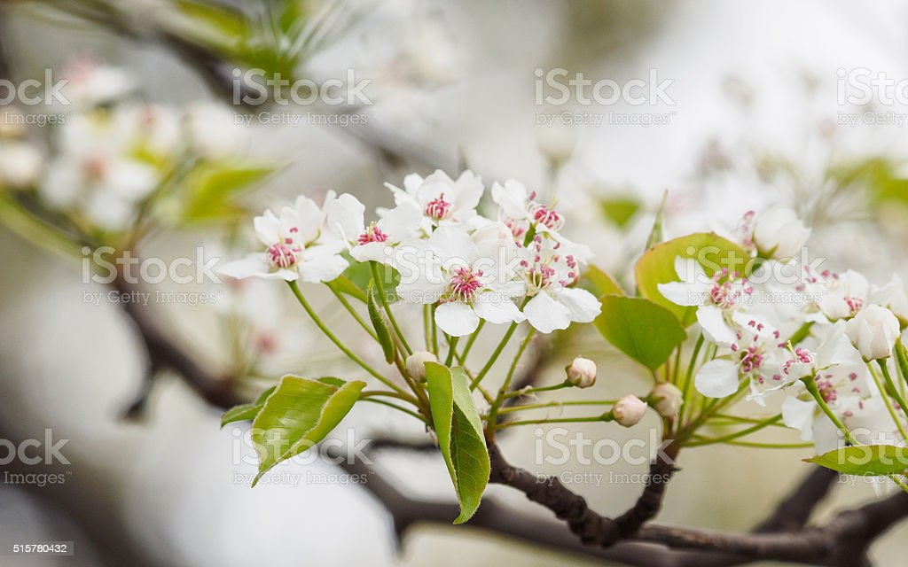 Spring flowers series: Pear Flowers stock photo
