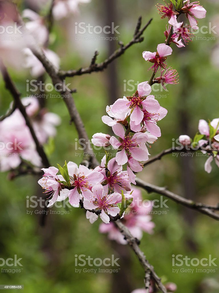 Spring flowers series, pink peach blossoming stock photo