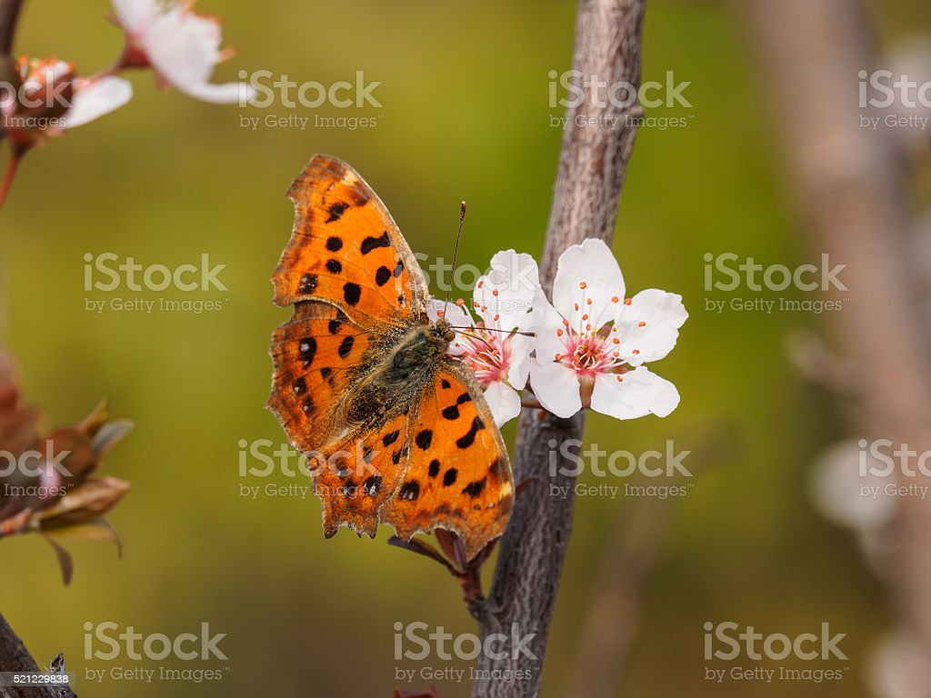 Spring flowers series: Prunus cerasifera and butterfly stock photo