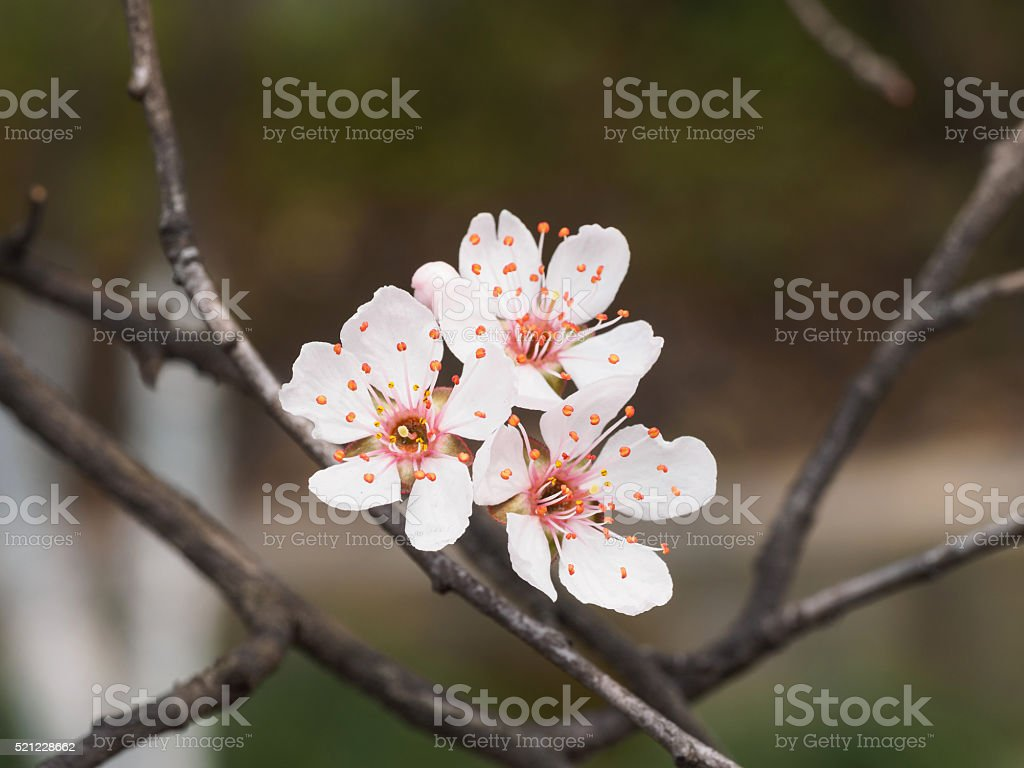 Spring flowers series: Prunus cerasifera or  cherry plum stock photo