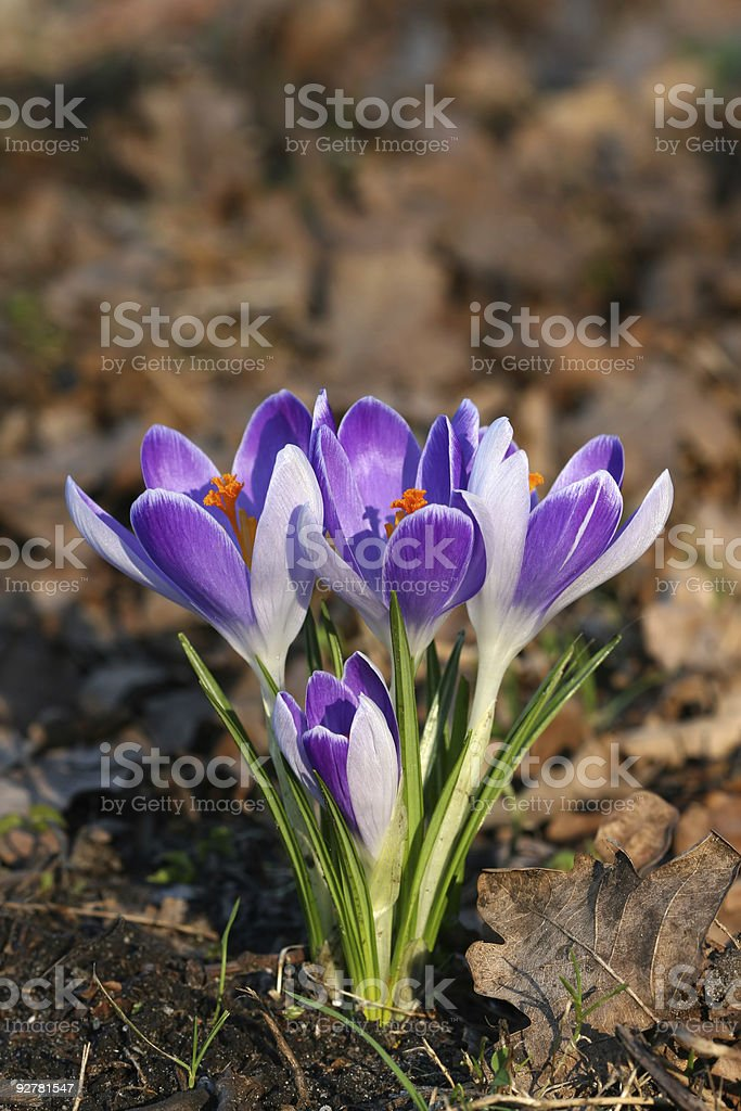 Spring flowers: Whitewell Purple Crocus royalty-free stock photo