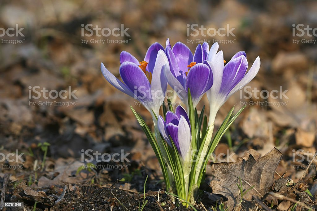 Spring flowers: Whitewell Purple Crocus royalty-free stock photo