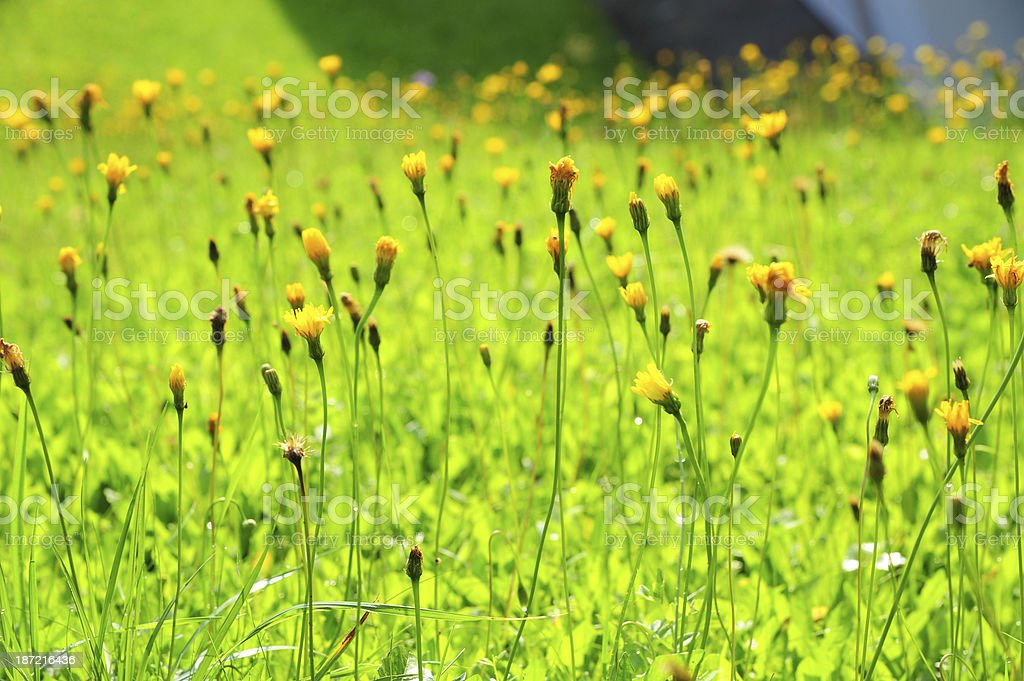 Spring flowers with Meadow royalty-free stock photo