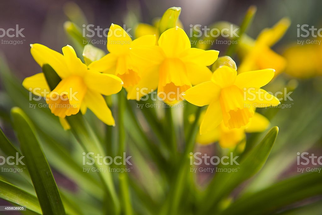 Spring Flowers: Yellow Daffodils stock photo