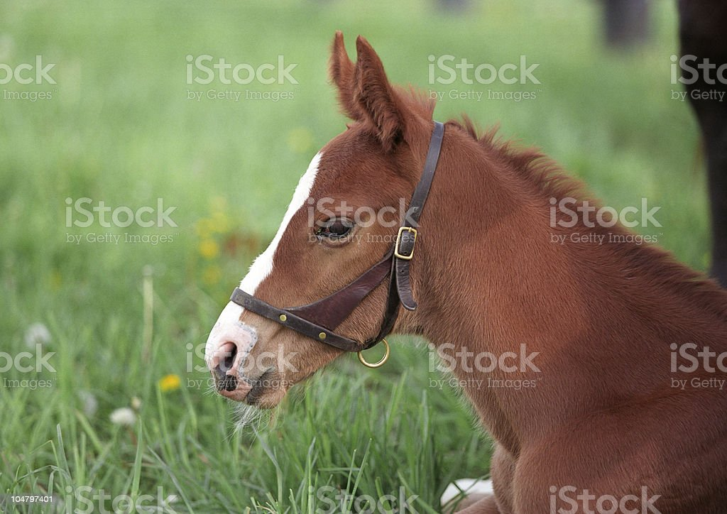 Spring foal royalty-free stock photo