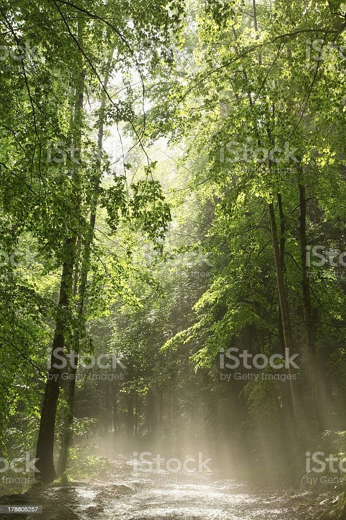 Spring forest after rainfall royalty-free stock photo