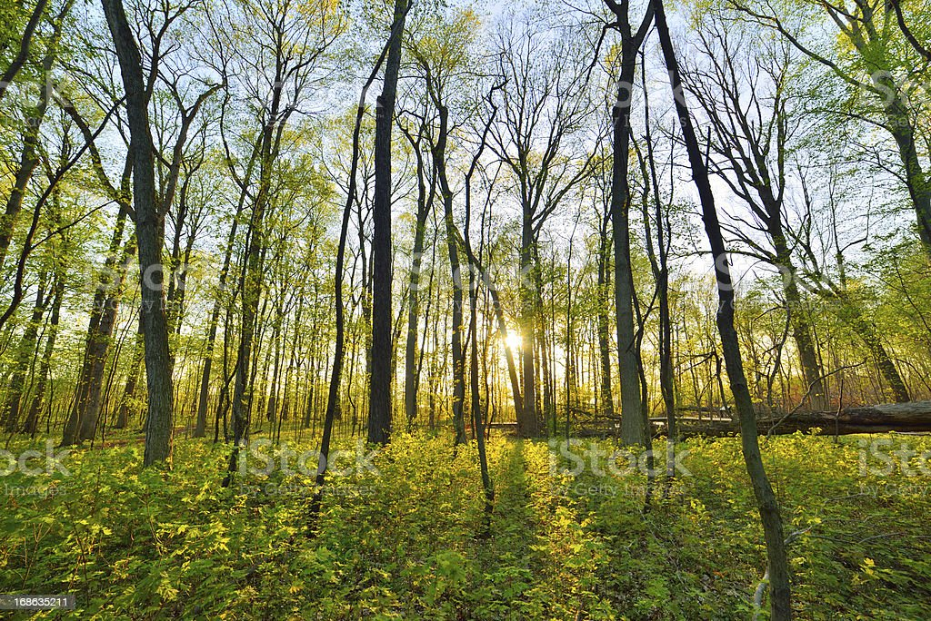 Spring forest at sunset royalty-free stock photo