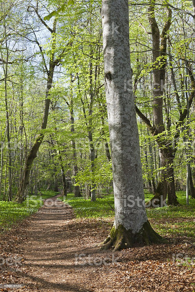 Spring forest footpath royalty-free stock photo