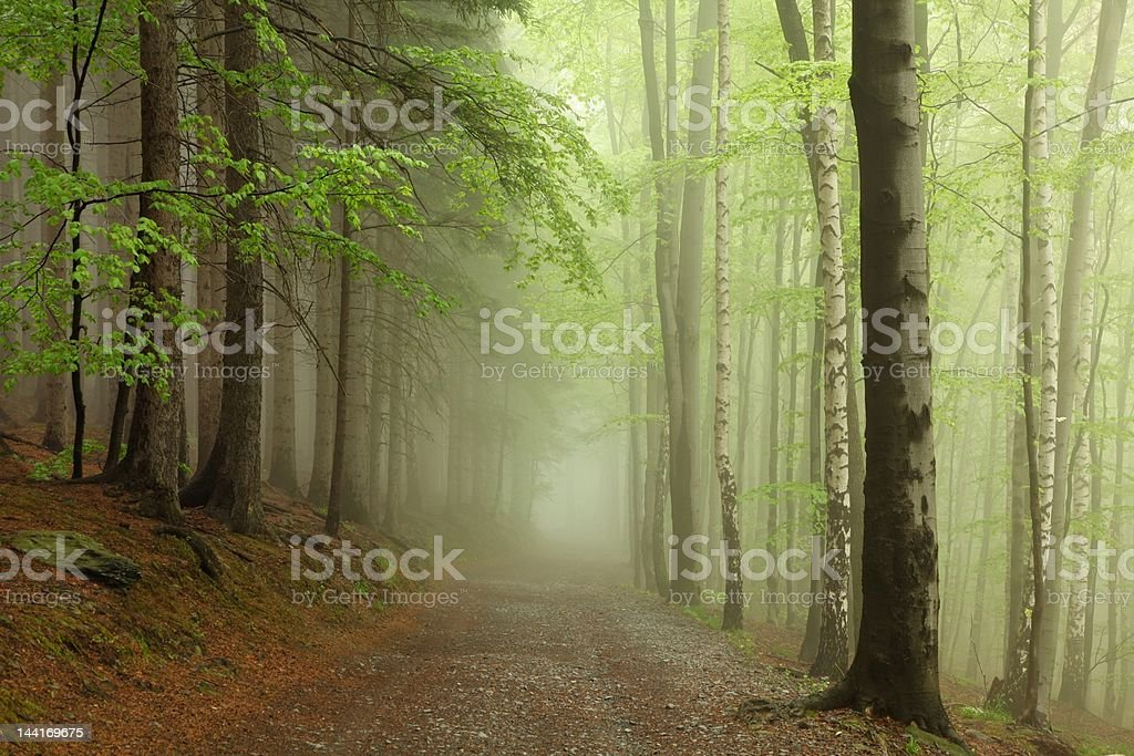 Spring forest in the fog royalty-free stock photo