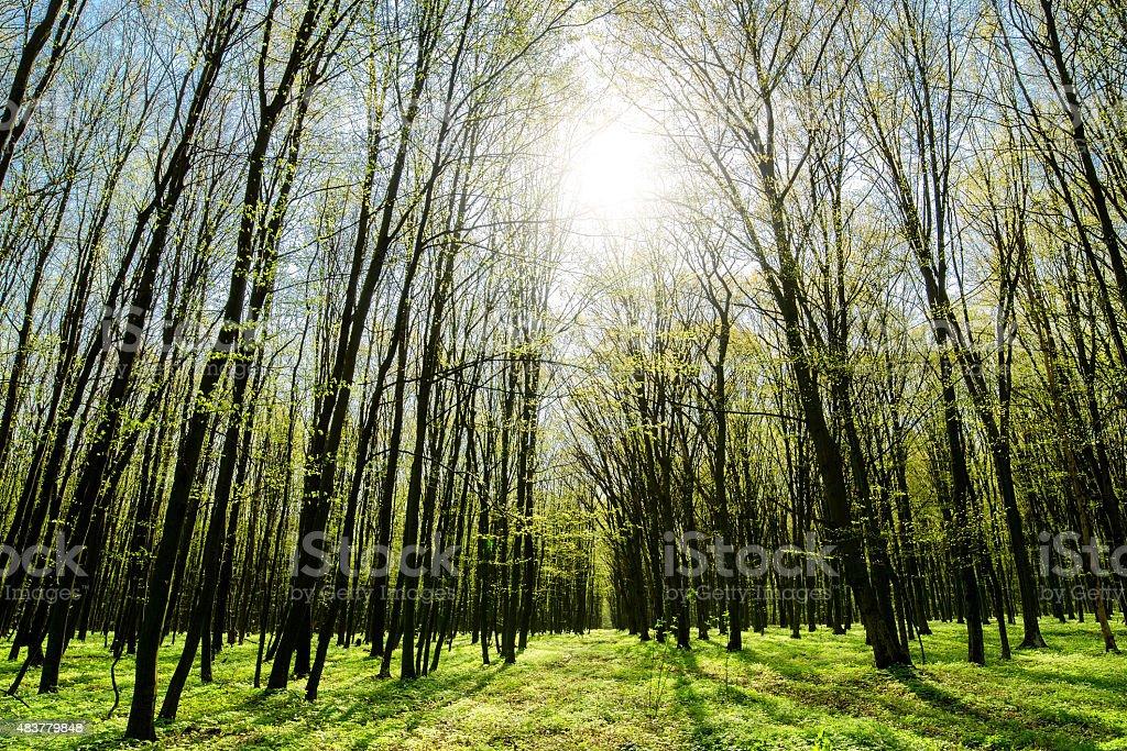 Forêt de printemps photo libre de droits
