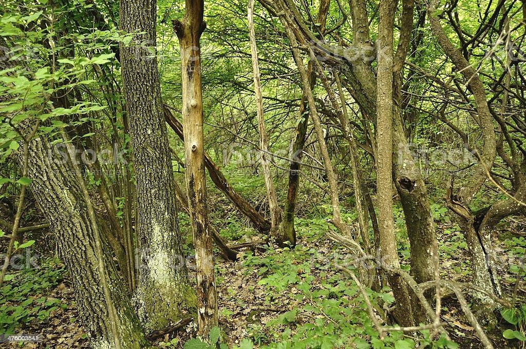 Wiosna lasu scena z wysokich drzew zbiór zdjęć royalty-free