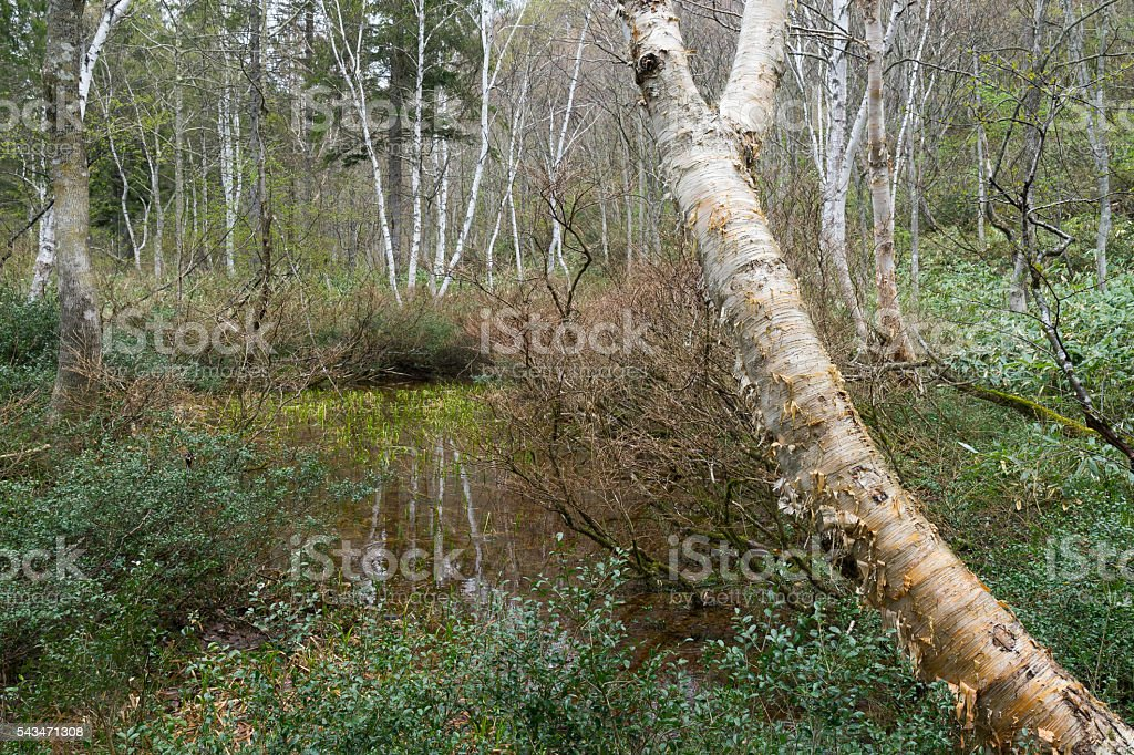 Spring forest wet with rain stock photo