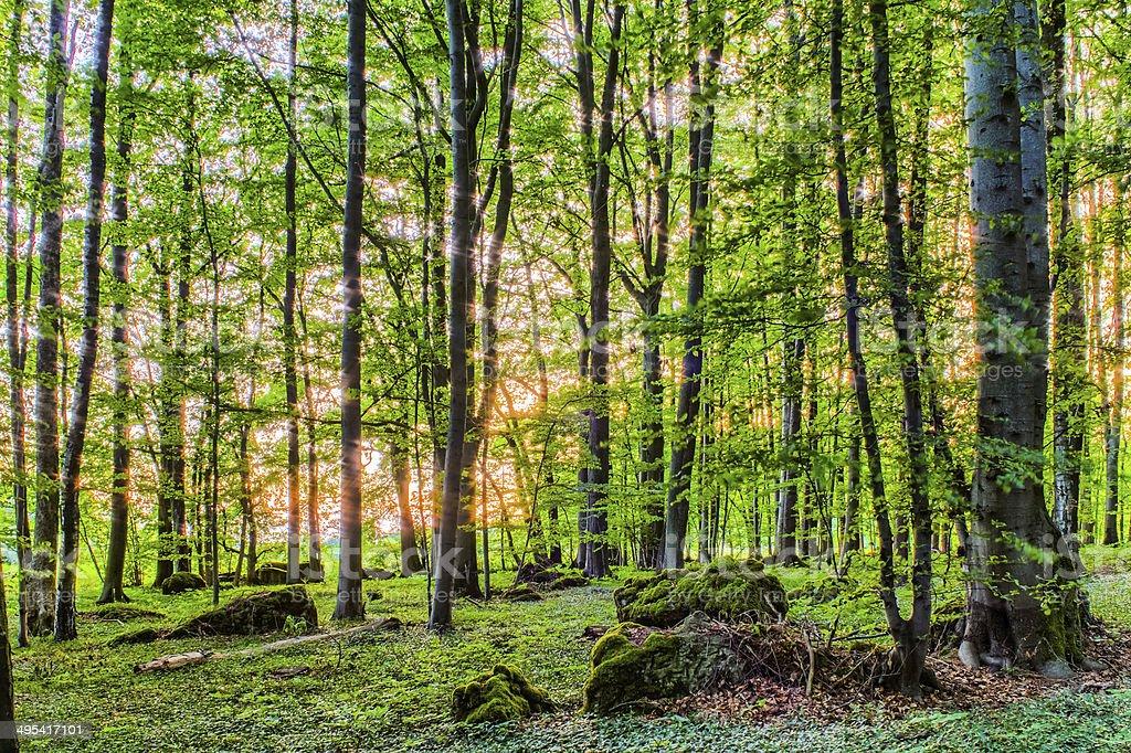 Spring Forrest Sonnenuntergang Lizenzfreies stock-foto
