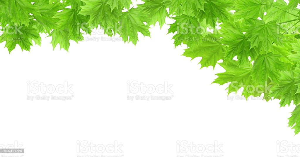 Spring frame with leaves of a maple stock photo