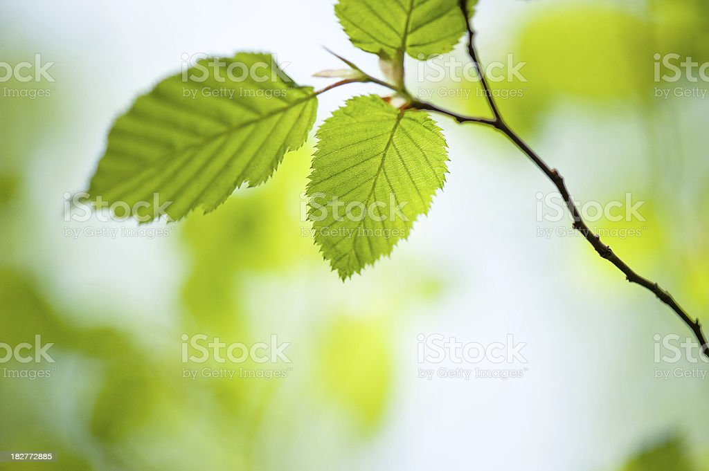 Spring Fresh Green Leaves on a Twig royalty-free stock photo