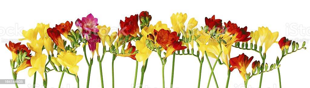 Spring fresia flower border royalty-free stock photo