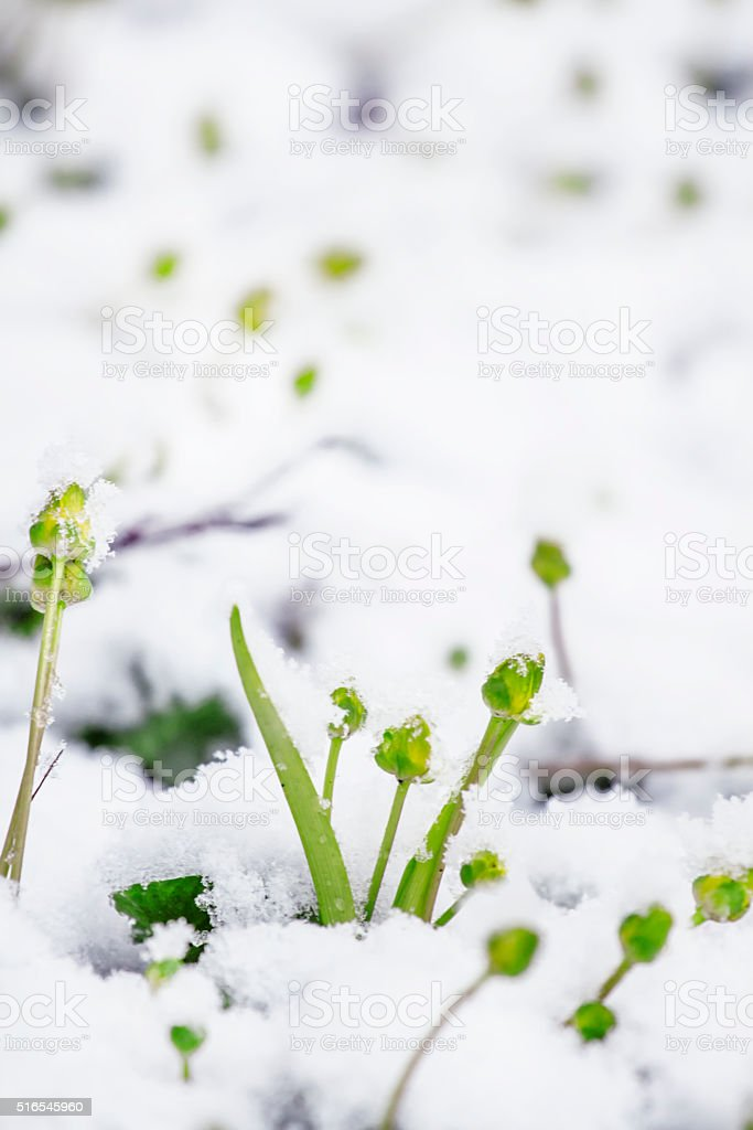 Spring frosts: grass and flowers under the snow stock photo