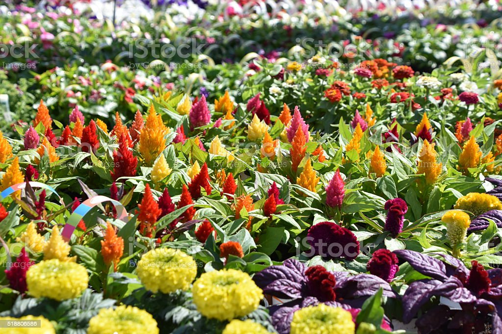 Spring Garden Flower planting Colorful Display stock photo