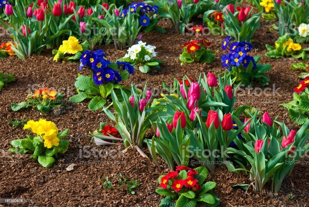 Spring Garden with Tulips and Primroses royalty-free stock photo