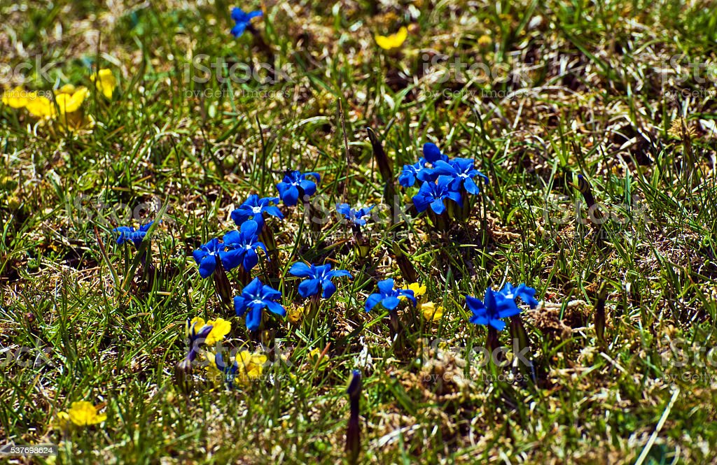Spring gentian flowers in Pyrenees stock photo