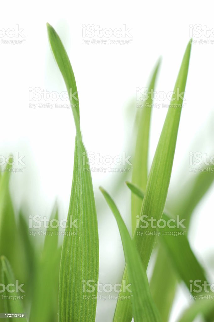 Spring grass macro royalty-free stock photo