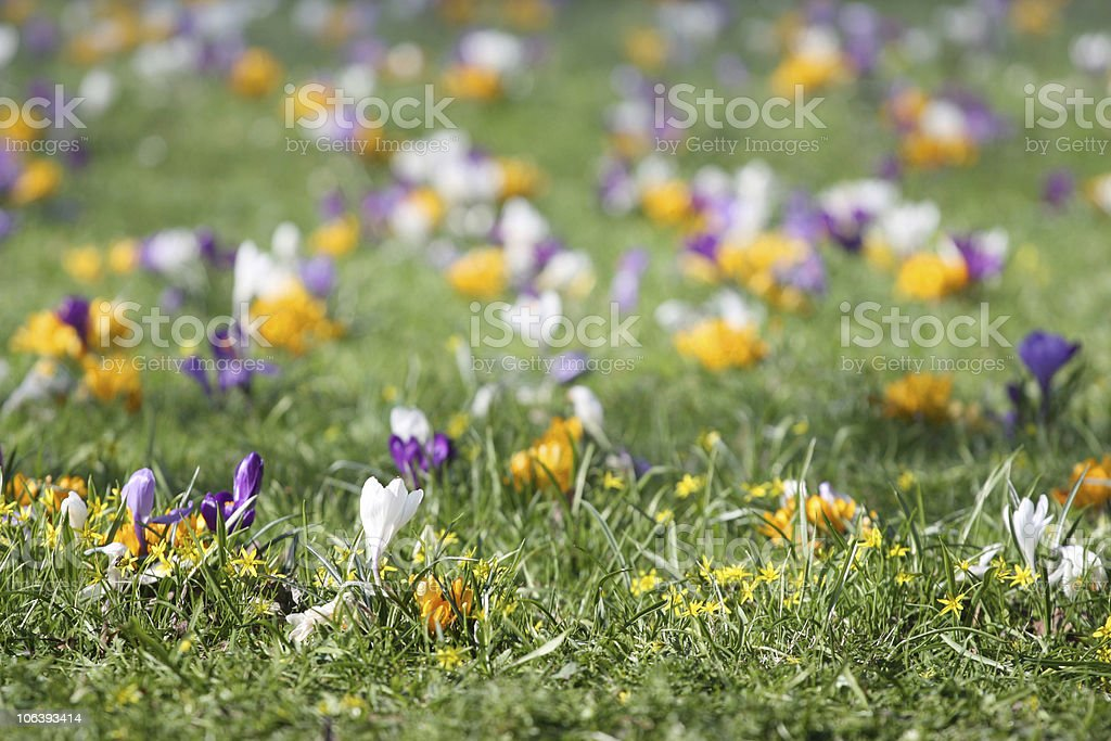 Spring grass with crocus royalty-free stock photo