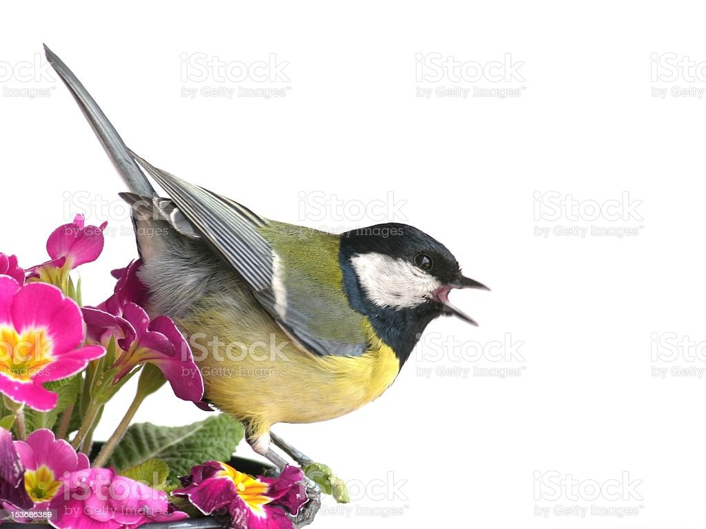 Spring - Great tit (Parus major) royalty-free stock photo
