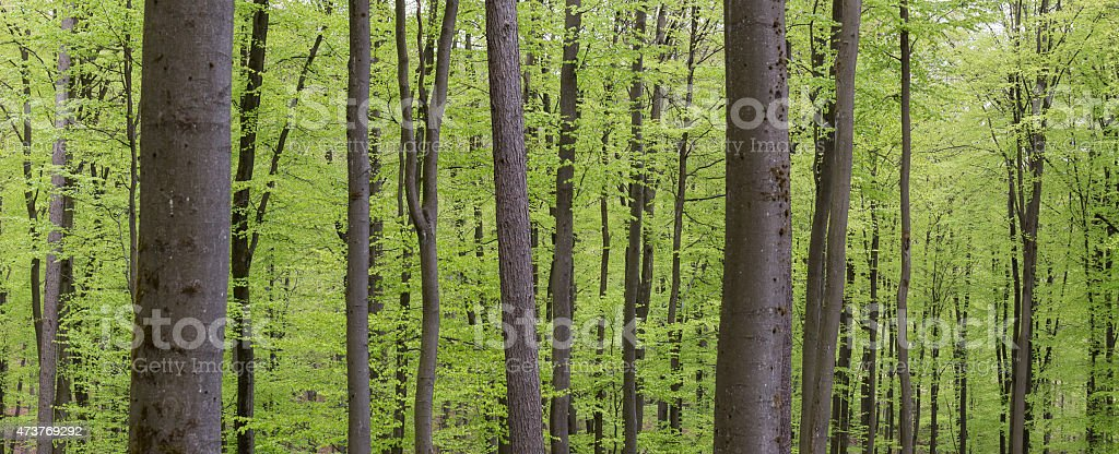spring green beech wood background stock photo