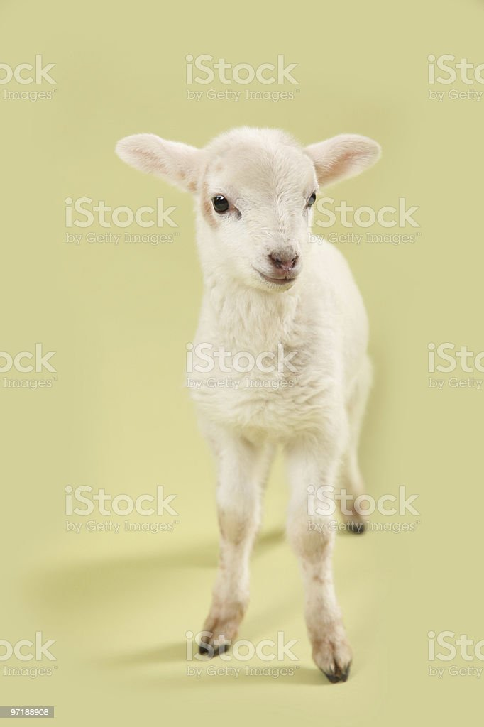 Spring Green Lamb stock photo