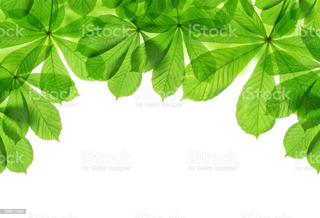 Spring green leaves of chestnut tree stock photo