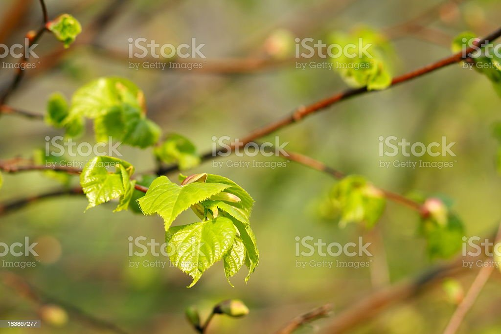 Spring Green Leaves royalty-free stock photo