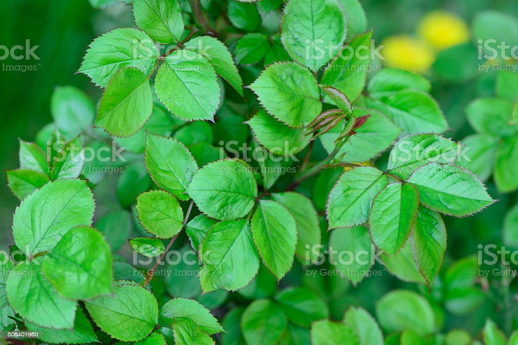 spring green leaves stock photo