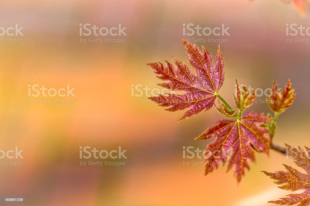 Spring Growth Portrayed by Leaves Emerging on Silver Maple Tree stock photo