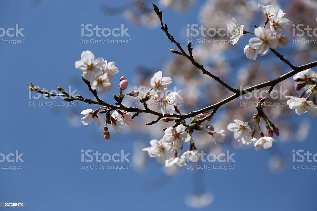 Spring has come. Sakura. stock photo