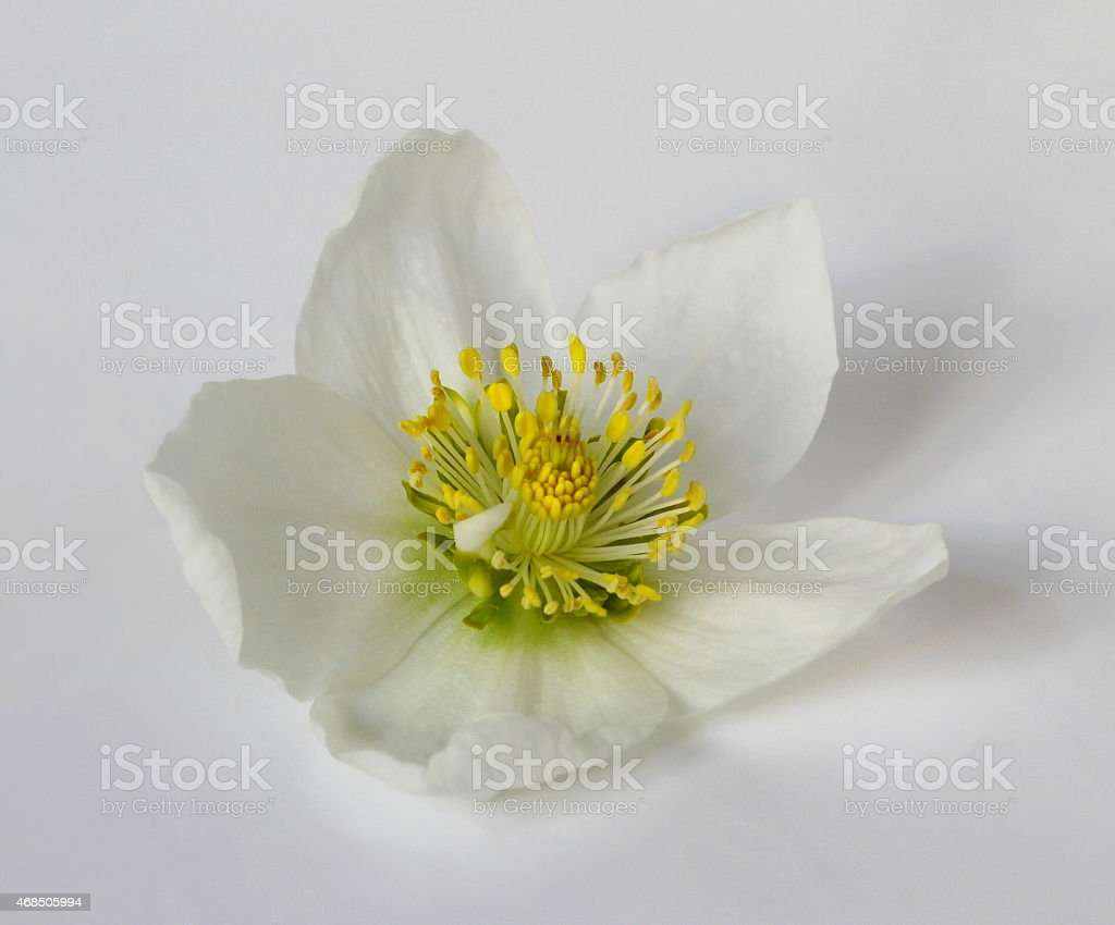 Spring hellebore flower. Helleborus niger - Christmas rose. stock photo