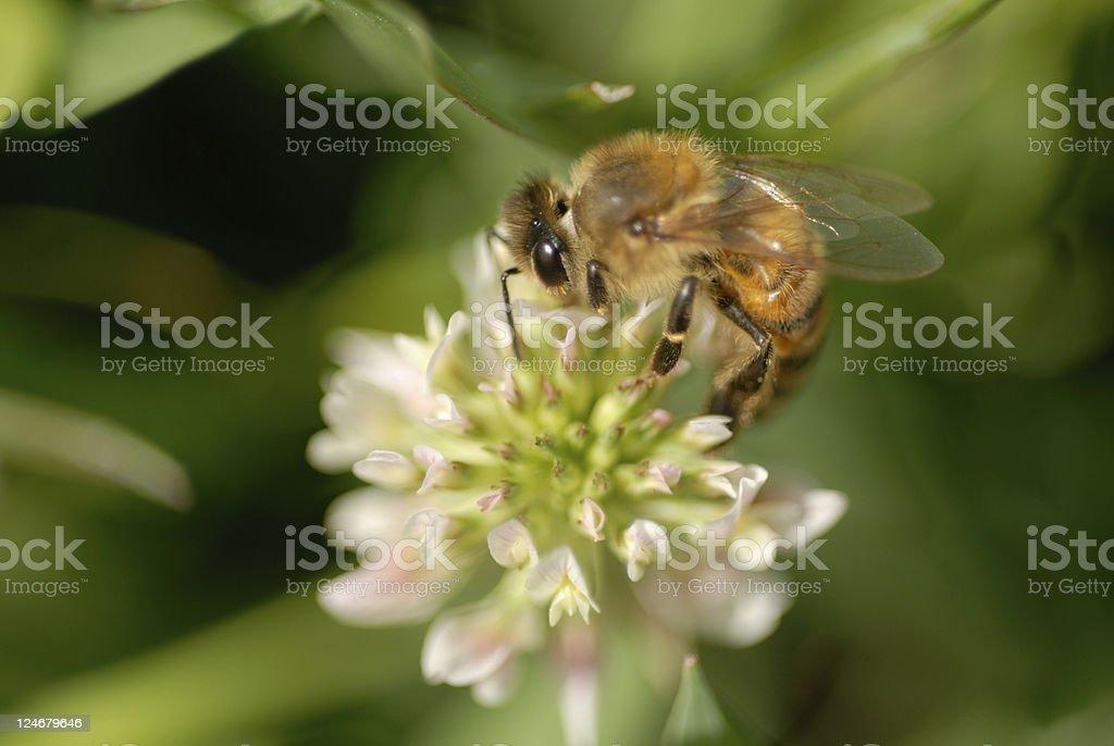 Spring Honey Bee stock photo