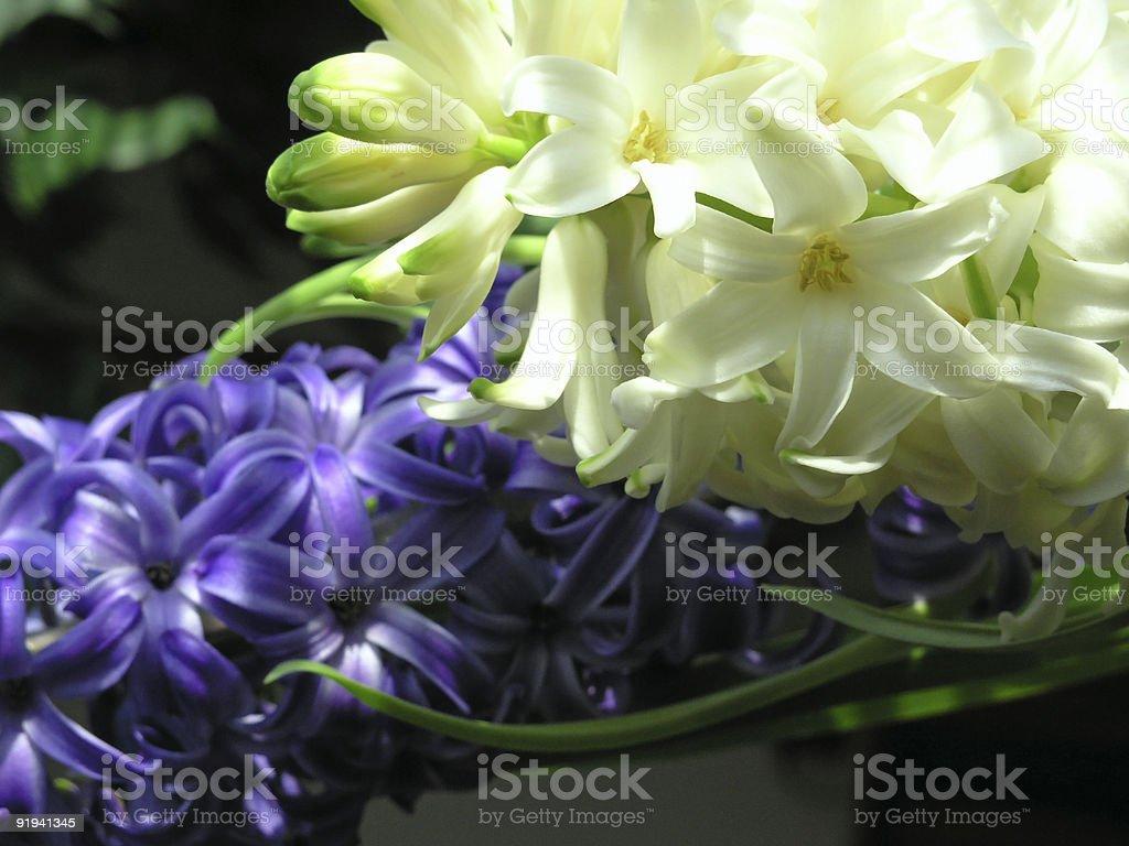 spring - hyacinth stock photo