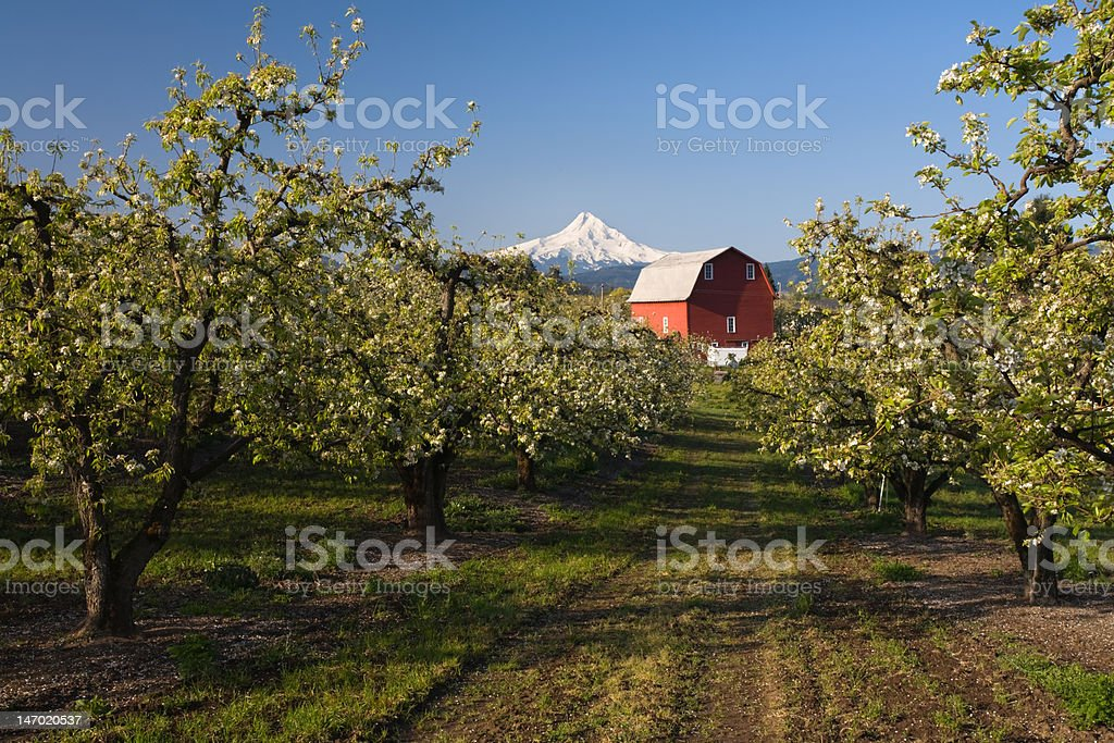 Spring in an Apple Orchard Hood River Oregon royalty-free stock photo
