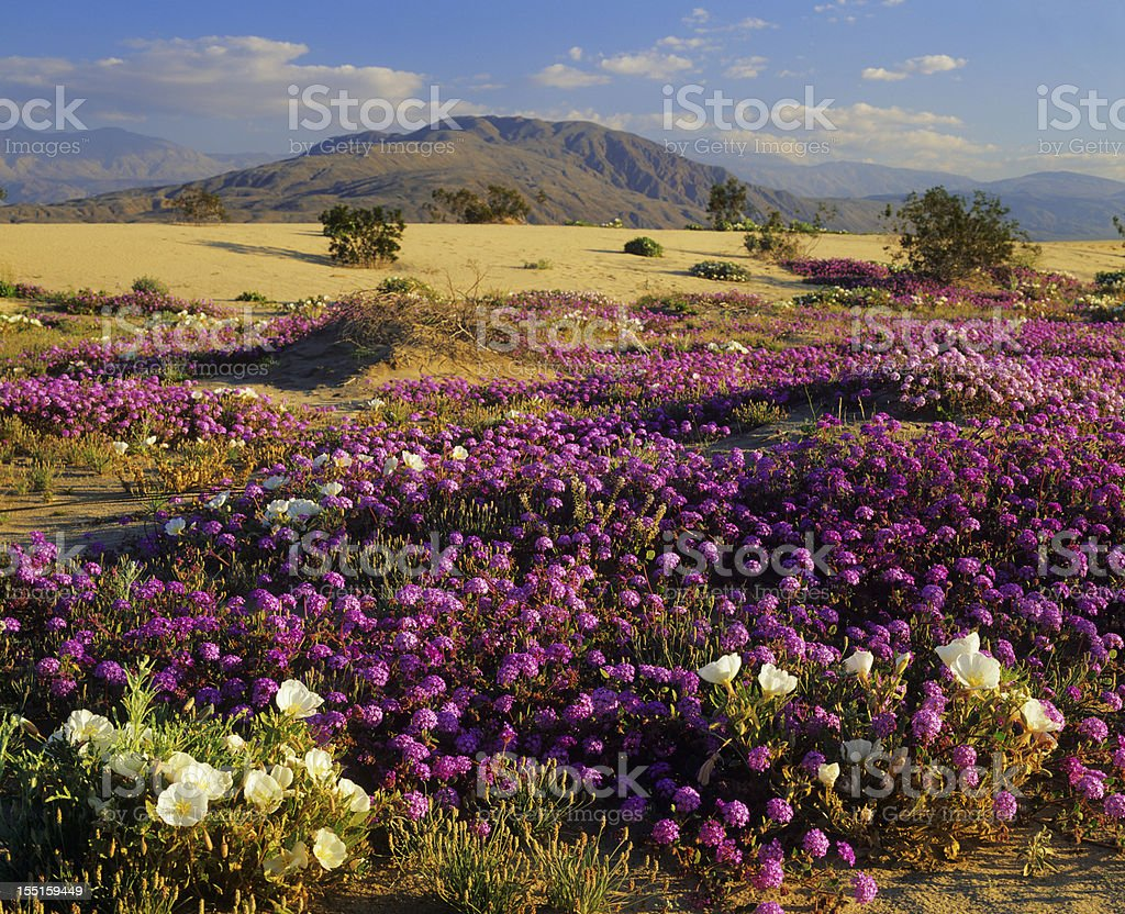Spring In California Desert royalty-free stock photo