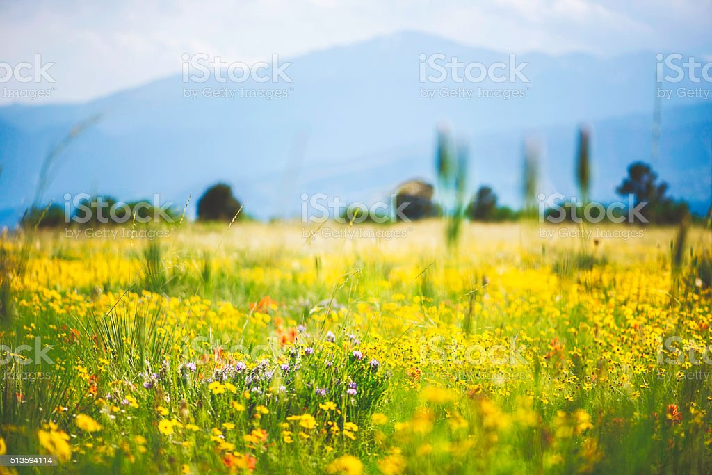 Spring in Colorado. Field of wildflowers with mountainous background stock photo
