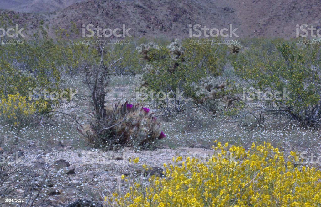 Spring in Joshua tree NP. stock photo