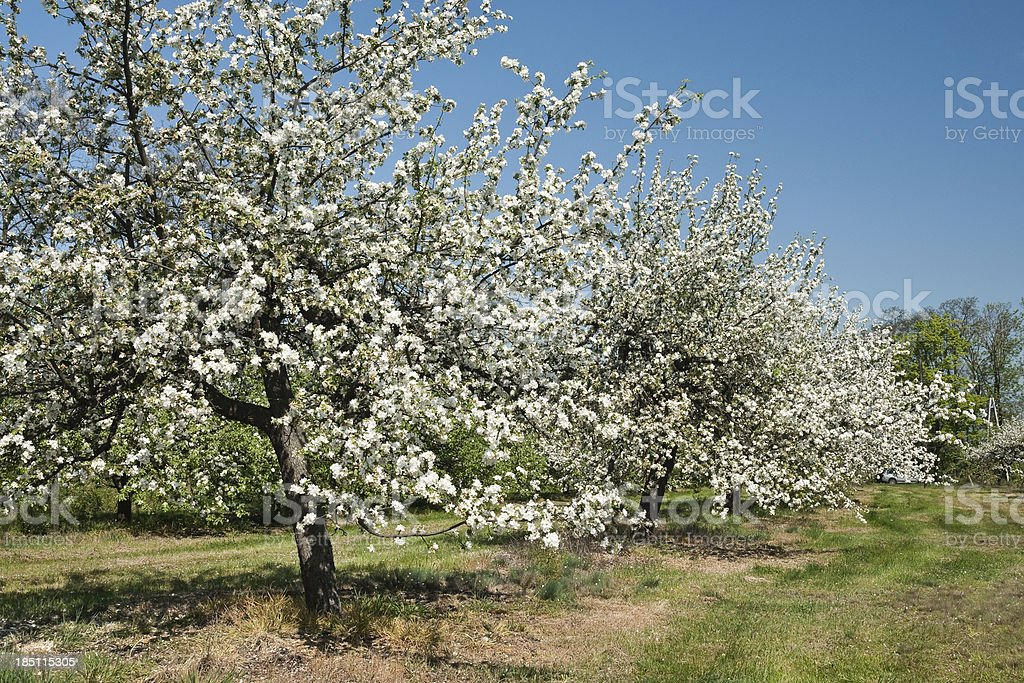 Spring in orchard royalty-free stock photo