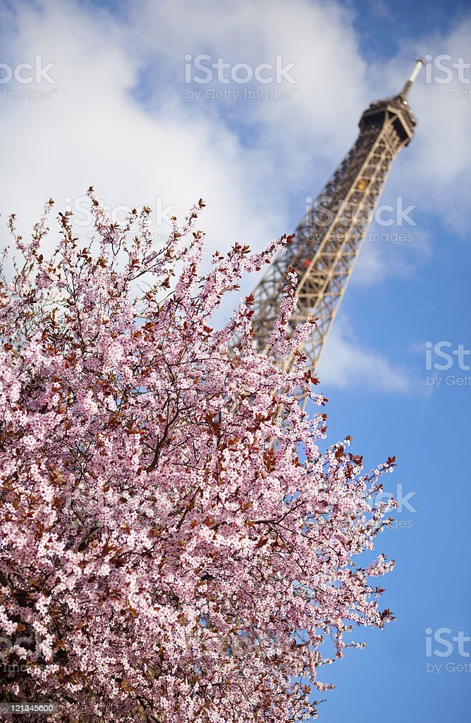 Spring in Paris. Blossoming cherry tree and Eiffel tower stock photo