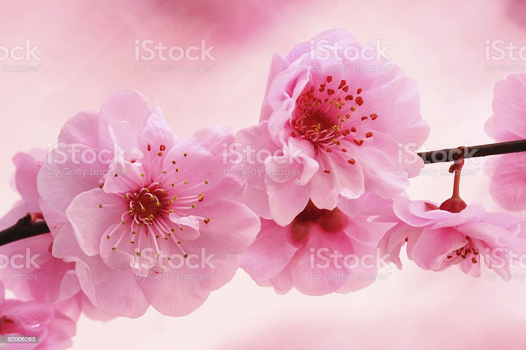 Spring in pink royalty-free stock photo