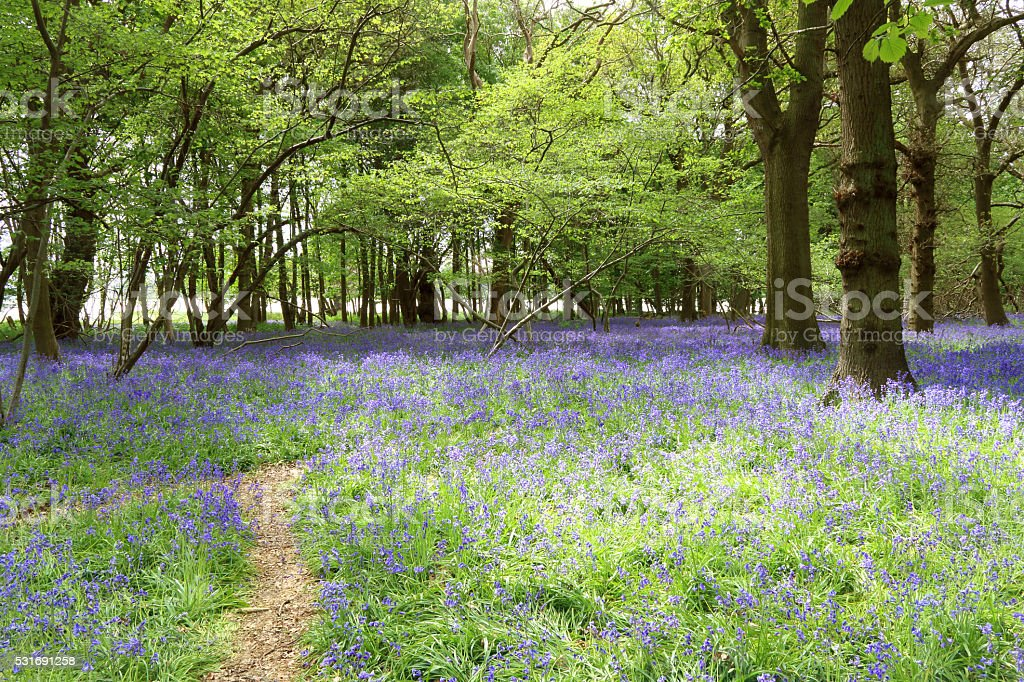 Spring in Suffolk, bluebells in Captain's Wood, Sudbourne near Orford stock photo