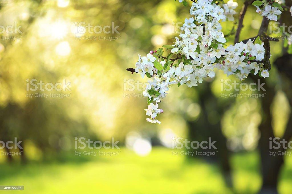 Spring in the Blooming Orchard - Shallow DOF stock photo