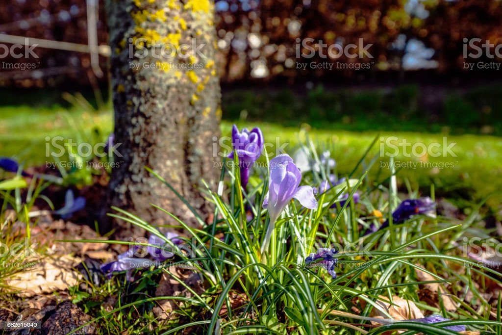 Spring in the garden with colorful crocus flowers stock photo