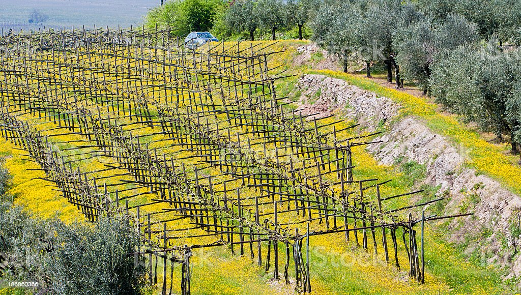 Spring in the vineyard, Valpolicella royalty-free stock photo