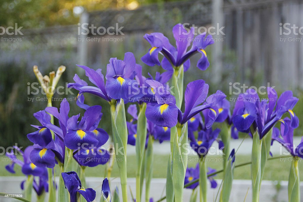 Spring Irises in the Garden stock photo